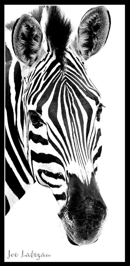 Zebra Face Drawings